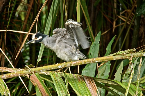 Yellow-crowned Night-Heron 02