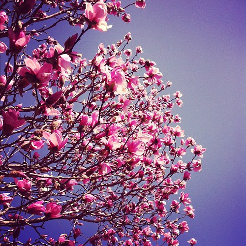 Went on a 2 mile walk with my sweet girl @magpie26 today stood under a pink magnolia and looked #up #marchphotoaday #day1