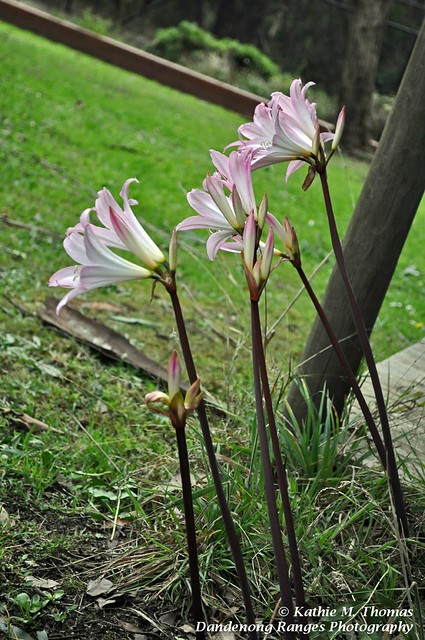 Bella Donna Lily or 'Naked Lady'