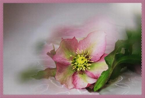 Christmas rose by T.takako
