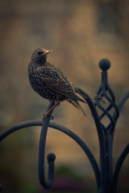 100312_ Hello Mr Starling #4