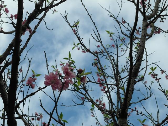 其實我還是分不出來是櫻花還是桃花XD