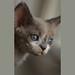 Devon Rex Kitten by peter_hasselbom