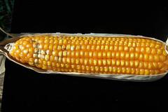 Mon, 04/20/2009 - 16:49 - Aspergillus colonized maize cob. Photo by IITA. (file name: MA_PD_014).