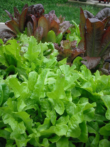 Lettuce by jenniferworthen