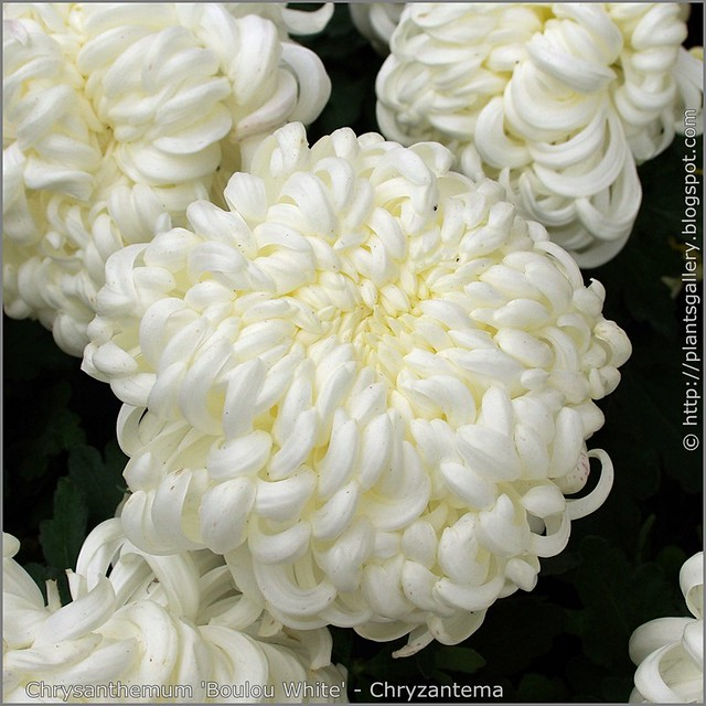 Chrysanthemum 'Boulou White' - Chryzantema   'Boulou White'