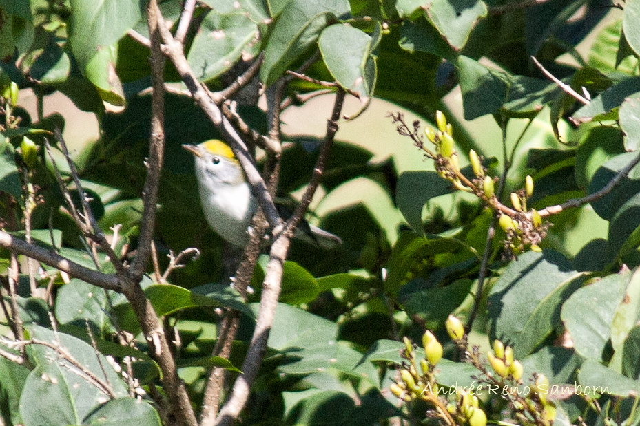 Brewster's Warbler (Vermivora leucobronchialis)-1-Edit.jpg