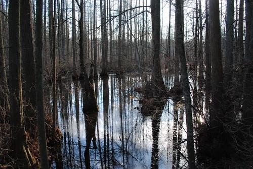 statepark park tree forest woods delaware baldcypresstrees laurelde trappondstatepark sussexcountyde