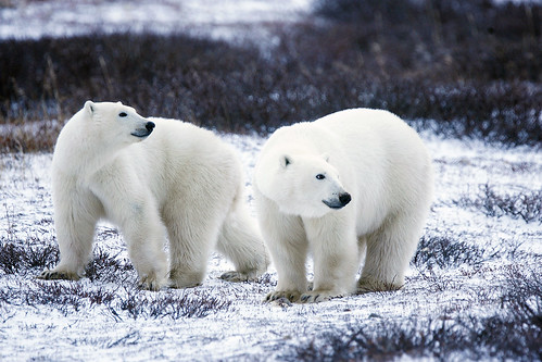 polar bear pair