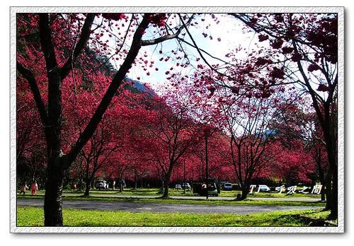 停車場的櫻花