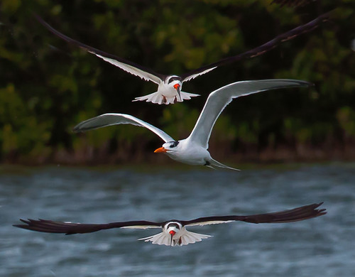 Two Skimmers and a Tern