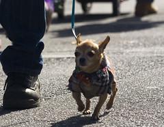 Barkus Dog Parade Chihuahua