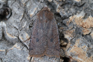 Dark Chestnut (Conistra ligula)