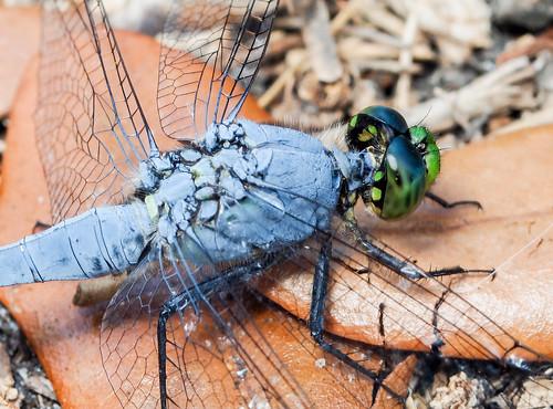 wings florida dragonfly debary geminispringspark