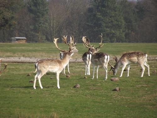Fallow deer, Attingham Park