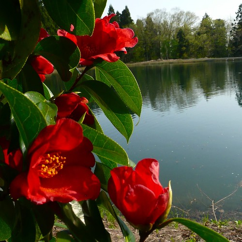 Camellia Japonica captured at Dainichi's mud pond!