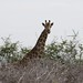 Giraffe at Kruger