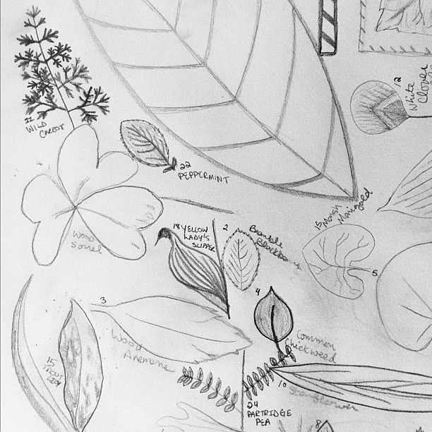 Sketching wildflower leaves this morning.