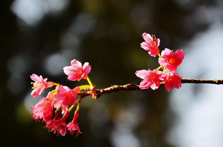 九族文化村櫻花祭-日12.jpg