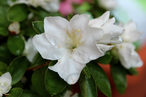 Azalea japonica in close up forum playerdue lighting - Azalea bianca ...