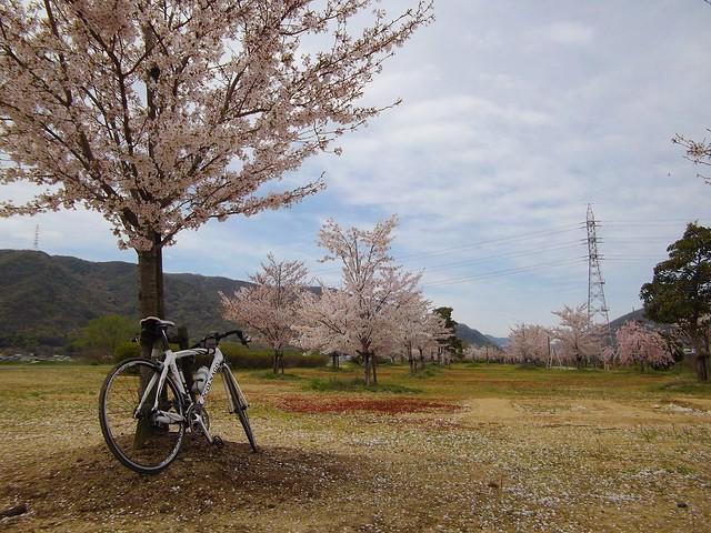 小田川沿いの桜