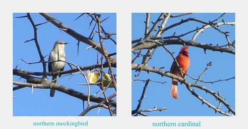 Mockingbird and cardinal