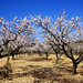 almond trees near Mas de Barberans