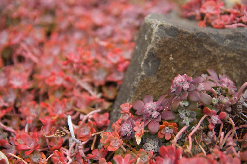 sedum cape blanco  1267