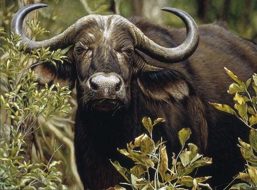 'Cape Buffalo' oil on board""