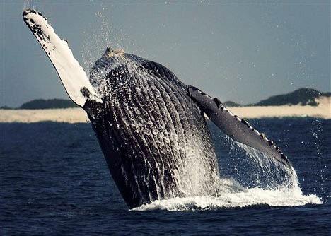 Whalebreech