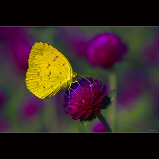 Yellow butterfly in the garden Gomphrena globosa [ EXPLORED ]