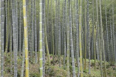 woodland, bamboo, tree, grove, forest, natural environment, biome, temperate broadleaf and mixed forest,