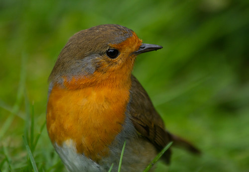 Robin on the lawn