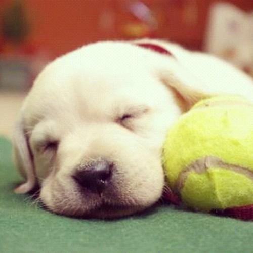 #labrador #puppy by juanramontejada