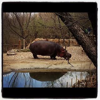 I love hippos. :)