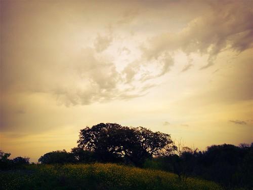 Oaks at dusk