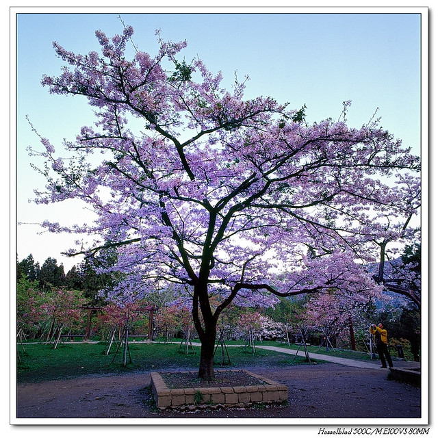 新中橫--阿里山櫻花季(銀鹽)