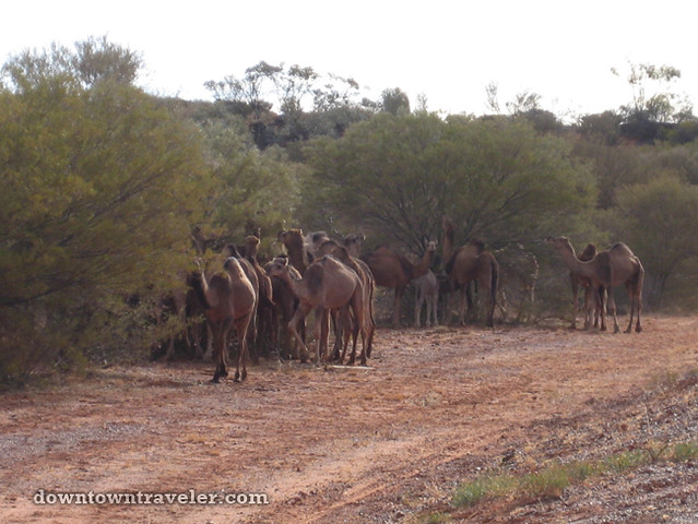 Australian Outback Camels