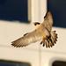 Peregrine Falcon 18th March  2012 A.Dancy CR 207