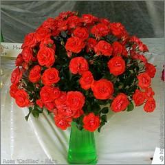 Rosa 'Cadillac' - Róża