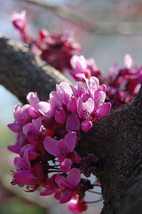 American Redbud, Cercis canadensis