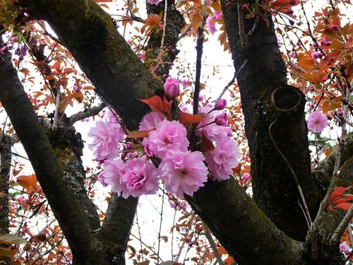 Ruffly Cherry Blossom
