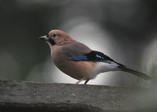 橿鳥是鳥中的模仿高手。圖片來源:台灣水鳥研究群 彰化海岸保育行動聯盟。