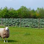 Drie schapen in de wei