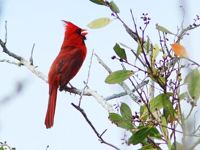 Northern Cardinal 2-20140422