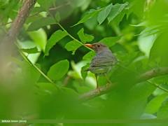 Tickell's Thrush (Turdus unicolor)