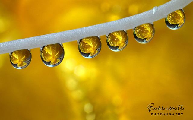 Golden drops