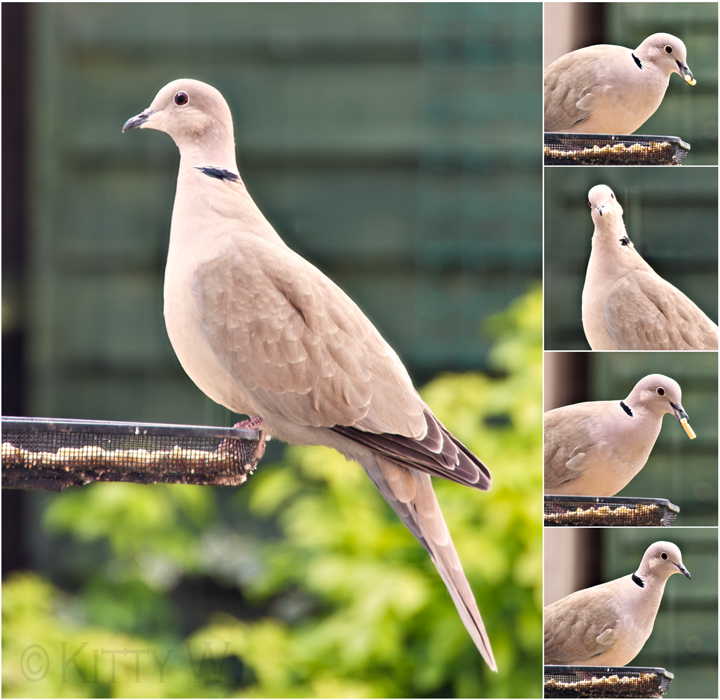 Collage of Mr Dove