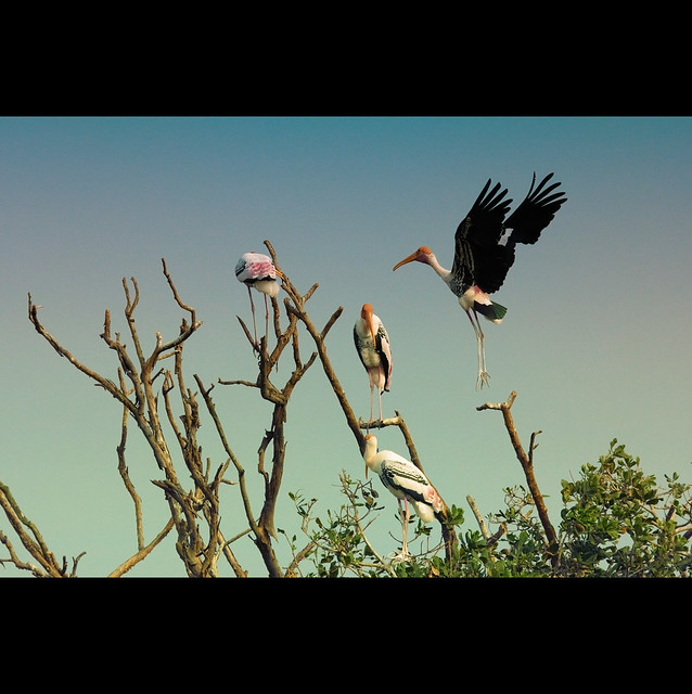 Painted stork returns home!