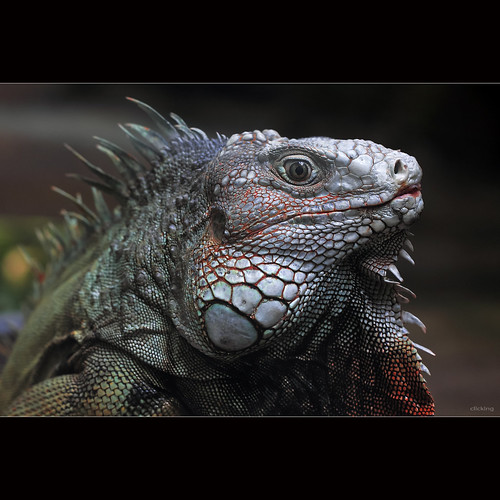 Silver Iguana